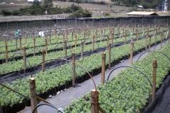 Desarrollo y aclimatización de las plantas de oyamel a temperaturas extremas